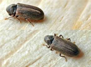 Carpet Beet How To Get Rid Of Carpet Beetles Zappbug