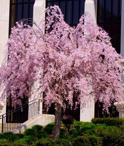 cherry blossom tree zone 9 pink weeping cherry prunus subhirtella pendula for sale brighter blooms nursery