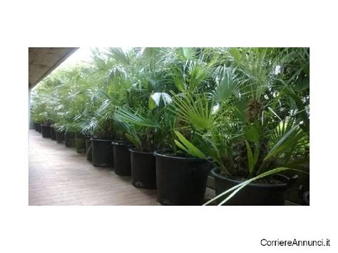 palme da giardino prezzi palme giardino offertes giugno clasf
