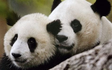 blue black and wight panda cute black and white panda colors photo 34711847 fanpop