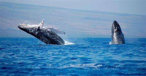 imagenes sorprendentes de ballenas ballenas jorobada im 225 genes y fotos