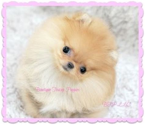 sick pomeranian 17 best images about evil stores teacups on micro teacup puppies