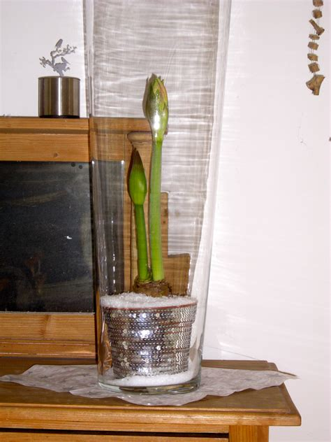 Amaryllis Im Glas Mit Moos by Amaryllis Im Winterglanz Kreativ Mit