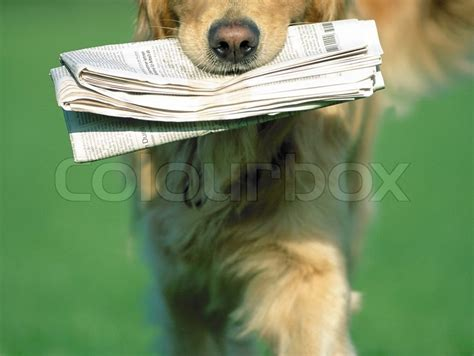 bringing home golden retriever puppy golden retriever bringing a newspaper in stock photo colourbox