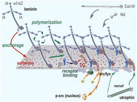 laminin basement membrane laminin search rom5