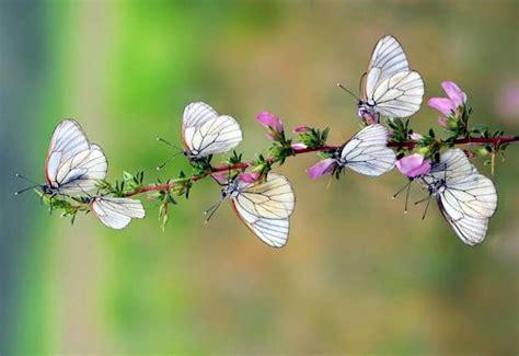 imagenes de mariposas blancas volando en la profundidad del bosque mariposas blancas