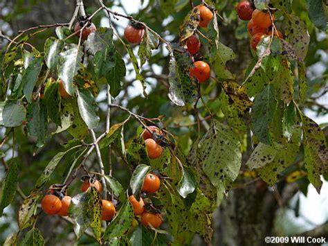 nc fruit trees common persimmon diospyros virginiana