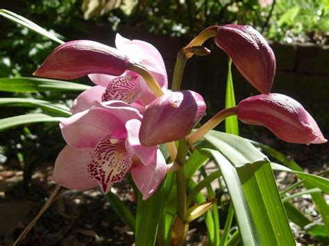 thyme in a bottle pink cymbidium orchids in bloom