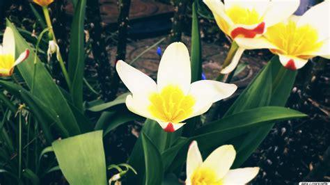 Weiß Blühende Blumen 789 by Die 88 Besten Fr 252 Hling Hintergrundbilder