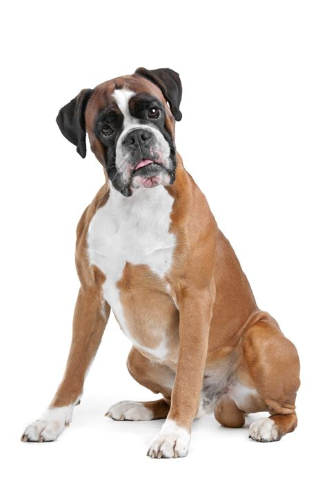 boxers dogs boxer breed pictures photos of boxers design bild