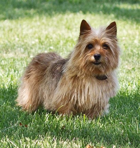 norwich terrier puppies for sale norwich terrier puppies for sale and norwich terrier breeders breeds picture