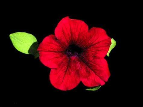 imagenes de flores que brillan flores fondo negro 11 marcos ferrera youtube
