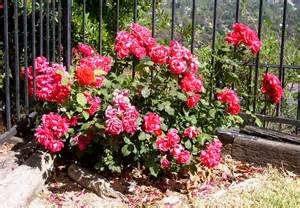 Facts About Carnations how to care for cut carnation flowers typesofflower com