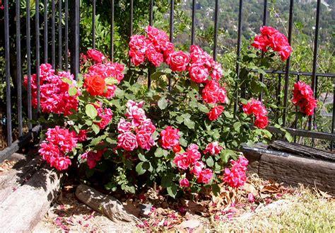 miniature shrubs that flower form character roses are perennial shrubs or vine
