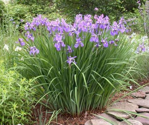siberian iris umass amherst greenhouse crops and