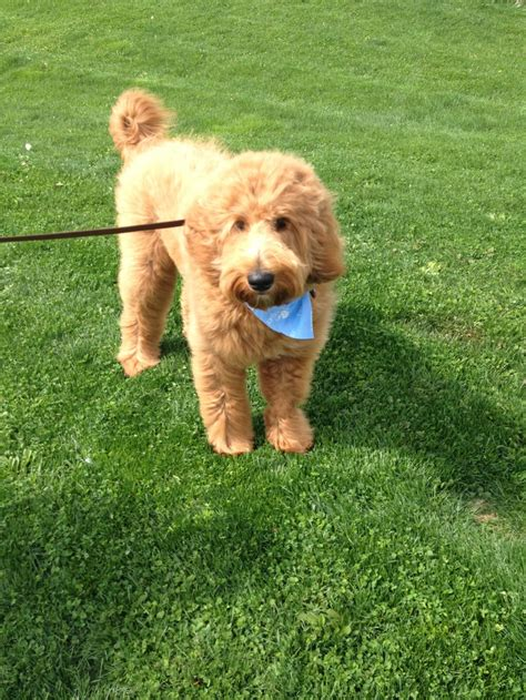 goldendoodle puppy breathing fast 1000 images about ralph e doodle cutest goldendoodle