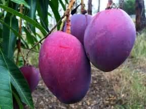 Sandbox Tree Fruit - dwarf mango irwin tree mangifera indica
