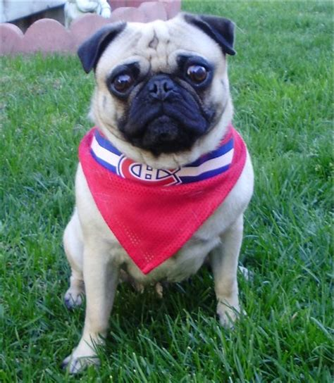 pugs montreal the nhl images montreal canadians pug hockey fan wallpaper and background photos