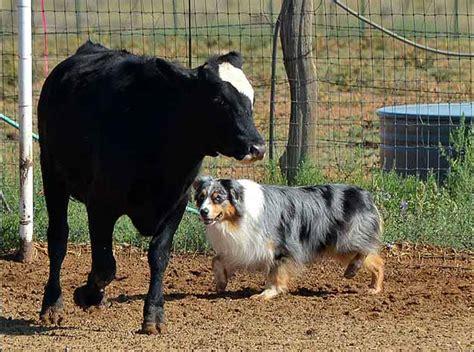 australian shepherd puppies az jailhouse aussies australian shepherd puppies for sale in arizona purebred