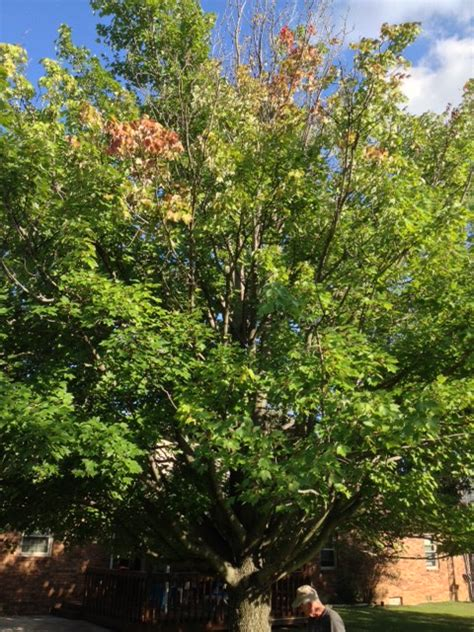 maple tree dying october maple tree is dying ask an expert