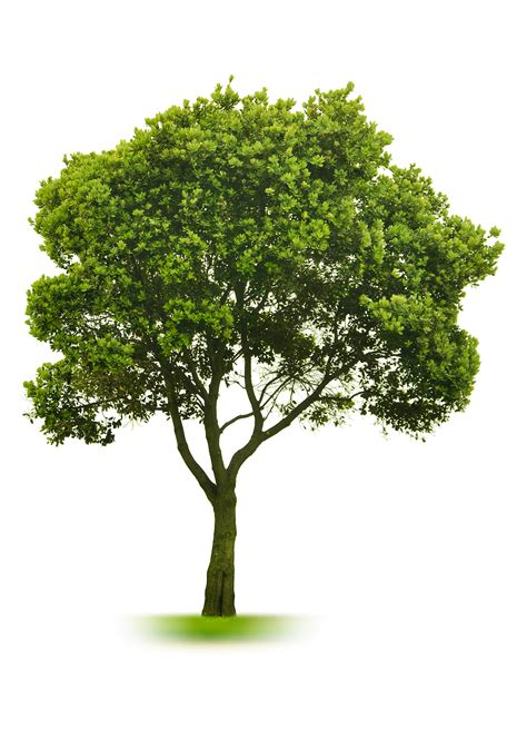 free images of trees tree free images at clker vector clip