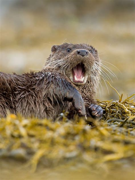call   sea otter  fascinating facts