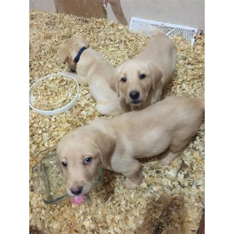 purebred lab puppies for sale purebred yellow lab puppies for sale in binghamton new york puppies for sale