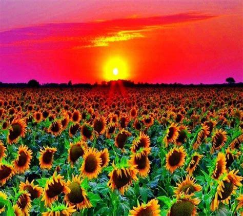 beautiful picture sunset on sunflowers beautiful images