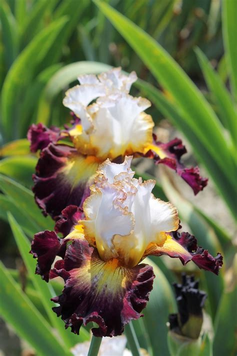 Iris Flower Garden 840 Best Quot I Bearded Iris Quot Images On China Painting Flower And Water Colors