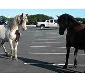 Horse Fight In Assateague MD  YouTube