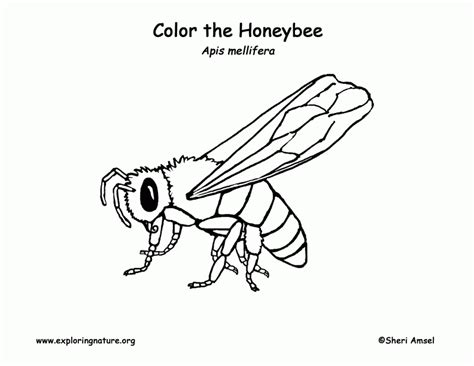 exploring nature coloring pages honeybee coloring page exploring nature educational