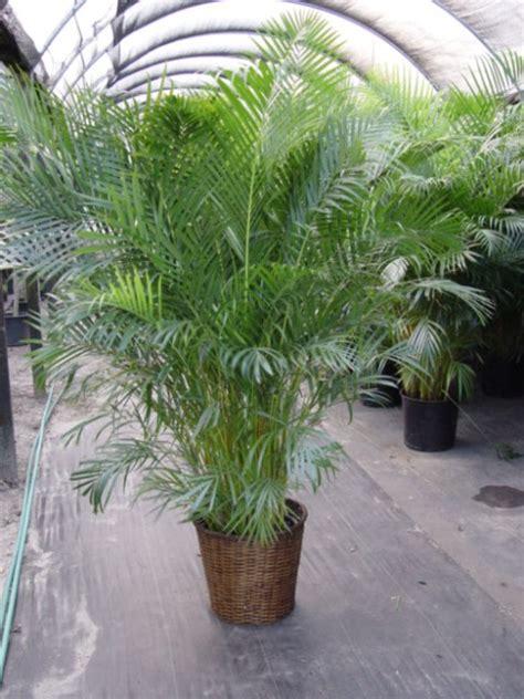 nasas top ten indoor plants  healthy housing