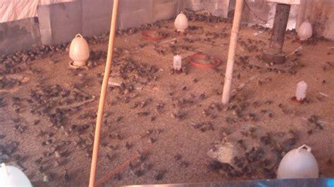Termometer Kandang peternakan puyuh bogor mencoba pembesaran puyuh fase