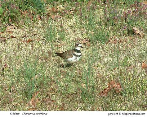 sc south carolina bird pictures page ground birds