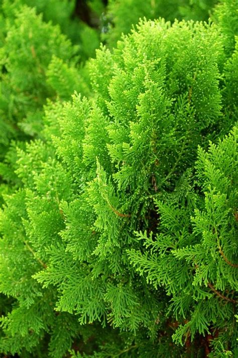 leaves of pine tree or oriental arborvitae scientific