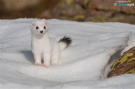 ermine color how can you tell the difference between a white weasel