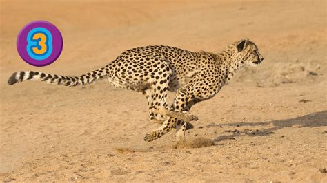 is a jaguar faster than a cheetah awesome 8 meet the big cats