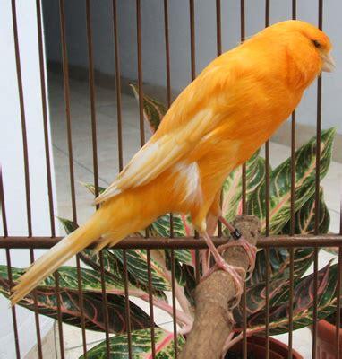 Tempat Pakan Burung Dari Bambu perlengkapan sangkar penangkaran kenari jember