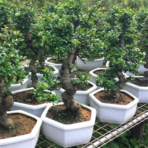 bonsai serut kata siapa tanaman cantik  mahal
