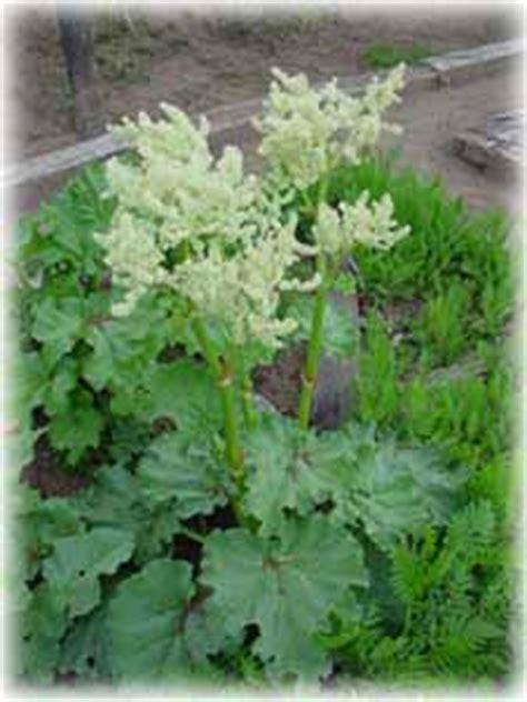 rabarber bloem belevenissen van een tuinkabouter groenten rabarber