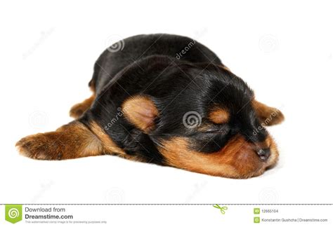 newborn yorkie puppies newborn yorkie stock images image 12665104