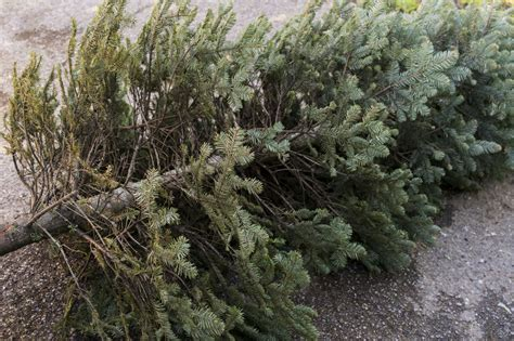 christmas tree recycling issaquah tips for taking and recycling your tree wtop