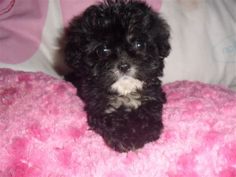 tiny poodle lifespan teacup poodle in uk dogs in our photo