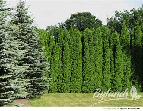Arborvitae Patio Arborvitae Patio 28 Images Landscaping Around A Small