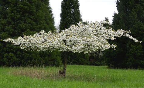 mt fuji cherry tree nz mt fuji cherry 16 quot pot hello hello plants garden supplies