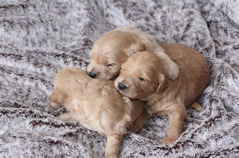 goldendoodle puppies nj pin mini goldendoodles nj healthy family home raised ready march on