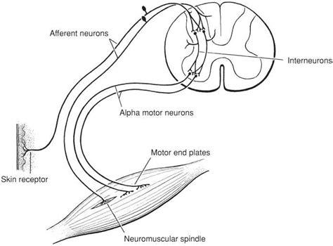 motor efferent organization of the somatic motor efferent system