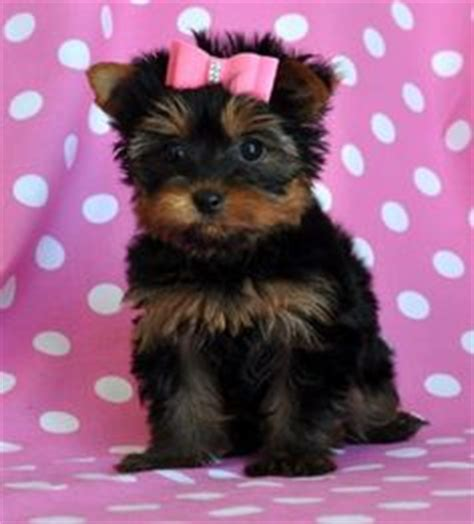 teacup yorkie allergies 1000 images about pups mainly teacup yorkies on teacup pomeranian