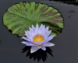 Lotus Flower Gifts Water Pale Blue Lotus Flower Gifts For By Newleafpics