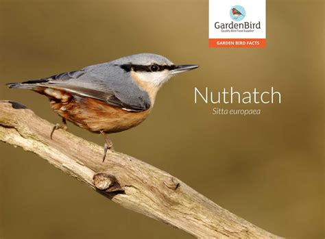 interactive nuthatch learn all about sitta europaea the